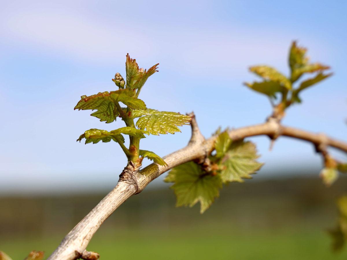 Weinbau1 c ae